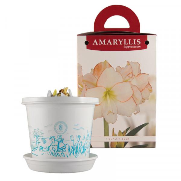 Amaryllis Picotee im Zuchttopf in Geschenkbox