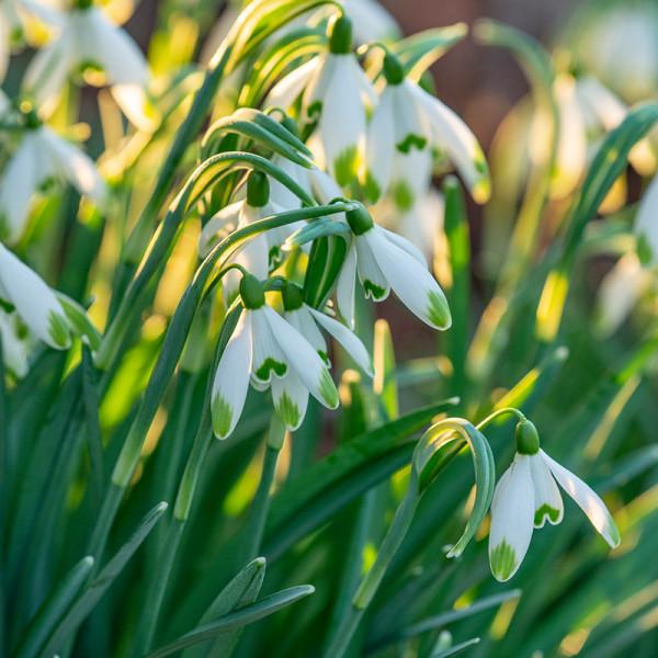 Galanthus nivalis viridi-apice
