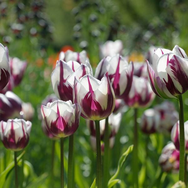 Großpackung Tulpen Rem's Favourite