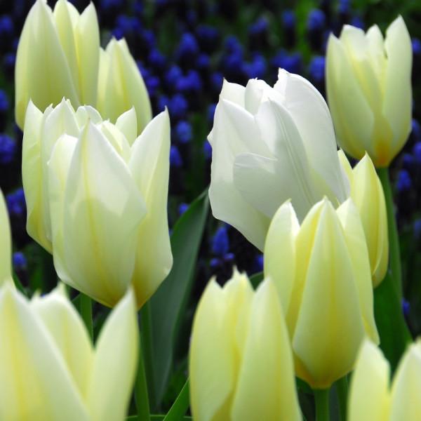 Tulpen Purissima