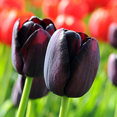 Alles-Over-Tulpen-enkel-laat