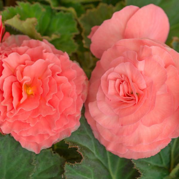 Begonie doppelt Rosa