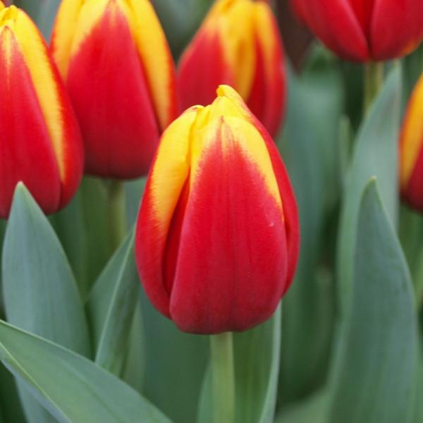 Tulipa André Citroen