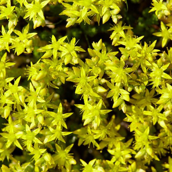 Mauerpfeffer (Sedum acre) 'Yellow Queen'