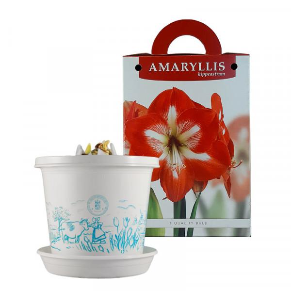 Amaryllis Minerva im Zuchttopf in Geschenkbox