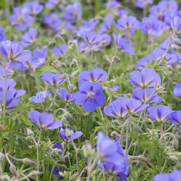 Geranium 'Brookside' Set von 3 Pflanzen, Preis pro Pflanze