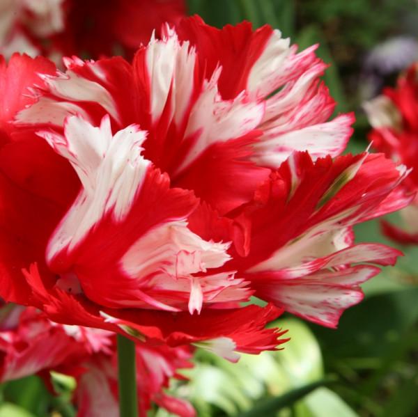 Tulpen Estella Rijnveld