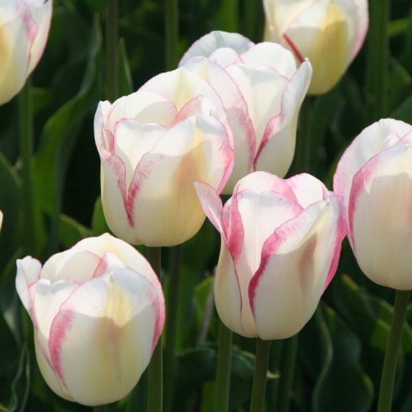 Tulpen Blushing Girl