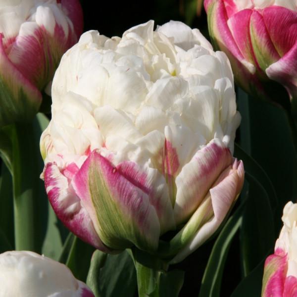 Tulpen Ice Cream