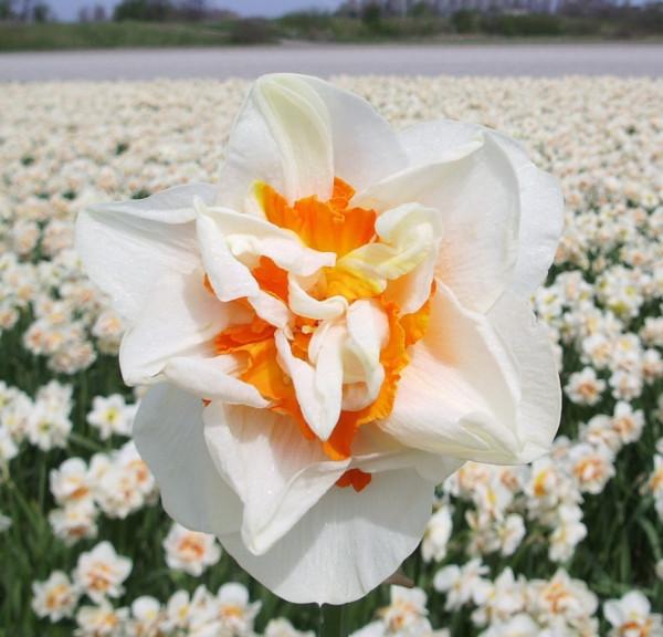 Narzissen Flower Parade
