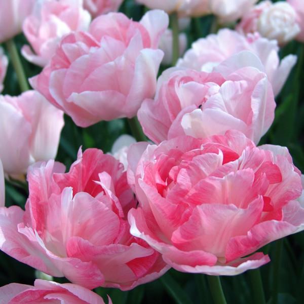 Großpackung Tulpen Angelique